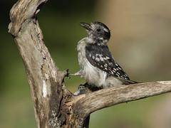 Downy Woodpecker, juvenile (AllHarts) Tags: ngc npc memphistn backyardbirds juveniledownywoodpecker naturescarousel thesunshinegroup