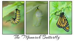 The Monarch Butterfly (jeannie'spix) Tags: monarchbutterfly monarch