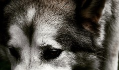 For I have promises to keep... (jayjay.and.the.wolf) Tags: alaskanmalamute pets dog nikon d40 malamute wolf promises dark