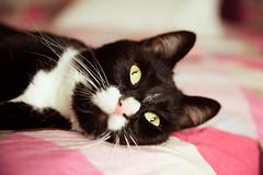 Raspberry (Fardo.D) Tags: karel tuxedo kitty cat gato chat katze neko kot kotek pink sheets triangle