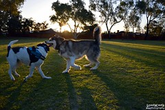 DSC_0038-1 (ScootaCoota Photography) Tags: dog pet animal border collie labrador park play outdoors nature malamute