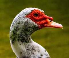 Animals. (ost_jean) Tags: duck swan nikon d5200 900 mm f28 ostjean nature natuur animaux dieren colors eend zwaan vogel closeup