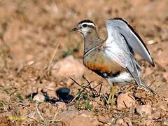 Chorlito carambolo (Charadrius morinellus) (eb3alfmiguel) Tags: aves chorlito carambolo agateador comn insectvoros pajros aire libre pjaro animal