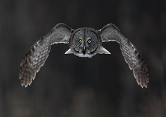 Great Grey (Peter Stahl Photography) Tags: canada alberta owl owls borealforest greatgrayowls