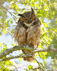 Mamma Great Horned Owl (Let there be light (A.J. McCullough)) Tags: birds texas owls greathornedowl nesting brazosbend brazosbendstatepark texasbirds