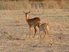 Nursing Antelope