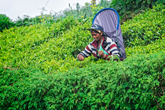Picking tea at tea plantation in Nuwara Eliya, Sri Lanka (CamelKW) Tags: tea srilanka teaplantation nuwaraeliya teapicking srilanka2015