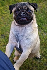 (Mark Hegarty UK) Tags: dog face closeup garden puppy pug fawn tounge