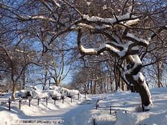 Last Time...I Hope (KaDeWeGirl) Tags: newyorkcity trees winter snow path centralpark manhattan midtown bäume