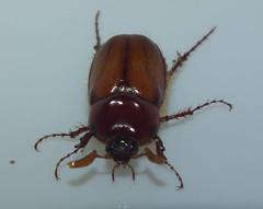 Scarabaeidae>Rhopaea magnicornis? Brown Cockchafer DSCF7243 (Bill & Mark Bell) Tags: exmouth westernaustralia australia geo:town=exmouth geo:state=westernaustralia geo:country=australia geo:lon=11425453egeolat2217752sgeoalt8m 11425453e2217752salt8m taxonomy:kingdom=animalia animalia taxonomy:phylum=arthropoda arthropoda taxonomy:class=insecta insecta taxonomy:order=coleoptera coleoptera taxonomy:family=scarabaeidae scarabaeidae taxonomy:genus=rhopaea rhopaea magnicornis taxonomybinomialnamerhopaeamagnicornis rhopaeamagnicornis taxonomycommonnamebrowncockchafer browncockchafer insect animal fauna beetle
