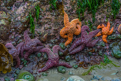 Color Variation in Ochre Star at Point of Arches in Olympic National Park (Lee Rentz) Tags: ocean sea wild orange usa color beach nature animal america coast washington marine colorful purple unitedstates northwest starfish wildlife rocky olympicpeninsula pacificocean coastal shore pacificnorthwest northamerica lowtide intertidal washingtonstate olympicnationalpark seashore variations seastar makah variants shishibeach pointofarches ochrestar pisasterochraceus