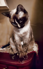 Who Me? (gtncats) Tags: pet cat vintage eyes sweet siamese coy autofocus topazlabs photographyforrecreation canonpowershotg16 infinitexposure