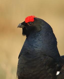 Black Cock portrait