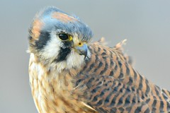 Kestrel caught in the wind (Wandering Coda) Tags:
