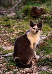 Gatete (J.Gargallo) Tags: espaa cat canon eos gato felino animales mascotas teruel mosqueruela aragn eos450d canon450d canonefs18200