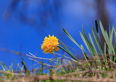 Radiant [Explored 22-4-2015] (ChrisBrn) Tags: blue flower sunshine yellow spring