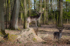 King of the forest! (A. M. D.) Tags: sun animal animals forest canon fun photography eos tiere king foto picture pic amd deer bild dsseldorf sonne reh tier spaziergang wildpark spas grafenberger 700d