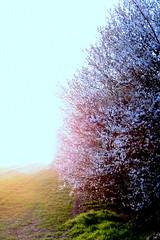 Gleichwie mein Heiland auferstanden (amras_de) Tags: flower tree primavera fleur spring flor tr boom arbor rbol jar blomma prima fiore albero lente blte tre puu blomst arbre rvore printemps vor strom baum arbo fa tavasz virg tr ver frhling lore ware vr bloem jaro blm wiosna floro baumblte kwiat flos koks forr ciuri primavara drvo pavasaris drzewo kvet kukka cvijet flouer medis arbore stablo zuhaitz blth crann cvet zieds drevo is proljece printempo earrach floare pomlad blome iedas rvulu frijoer