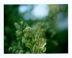 Catclaw blooms -Polaroid + Close Up Lens (EllenJo) Tags: polaroid highdesert blooms landcamera catclaw closeuplens instantfilm fujiinstant fujifp100c closeuplens2 convertedpathfinder rollfilmconvertedtopackfilm mesquitefamily