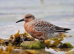 Knot.  Calidris canutus. (len firecrest) Tags: uk knot dorset seashore len shorebird wader tideline calidriscanutus d90 turnstones afs300f4 lenfirecrest