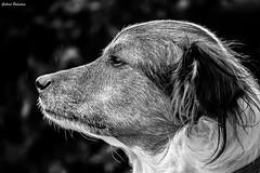 Old dog under the rain (GaboUruguay) Tags: bw dog pet rain animal blackwhite can perro domestic lupus mascota animalia mammalia chucky olddog canis familiaris carnivora chordata canidae caniformia1