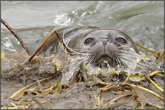 Harbour Seal (image 3 of 4) (Full Moon Images) Tags: mill nature animal river mammal harbour nt wildlife great national seal trust common houghton ouse cambridgeshire