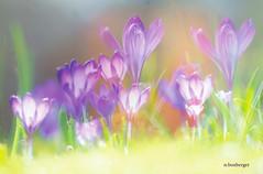 fantaisie de crocus (nicole boxberger) Tags: fleur pastel lumiere mauve flou