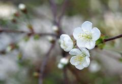 Cherry (STTH64) Tags: white plant flower macro tree finland garden cherry spring dof alba perry kirsikka pentaxf pentaxk1