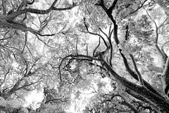twirl. (jrseikaly) Tags: trees lebanon white black tree up jack photography looking cedar arz cedars ariz seikaly jrseikaly