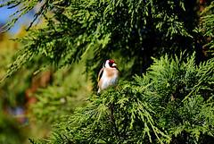 Chardonneret lgant (Jean-marc17340) Tags: bird nature animaux oiseaux faune chardonneret