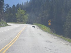 bear crossing (FabienA380) Tags: bear canada bc britishcolumbia wildlife alberta blackbear ours radiumhotsprings