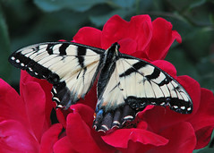 fresh Tiger swallowtail in the roses (Vicki's Nature) Tags: red roses broken yellow yard canon butterfly georgia dof stripes easterntigerswallowtail injured s5 8560 touchofblue vickisnature