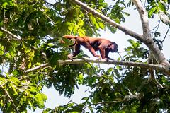 Amazon rain forest Peru (arthur.harrow) Tags: amazonbasin riomadrededios puertomoldonado rainforest howlermonkey haciendaconception southamerica peru inkaterra monkey