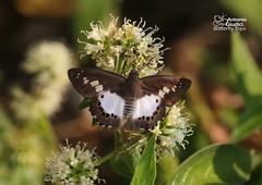 The Evans White Flat -  (Antonio Giudici Butterfly Trips) Tags: thailand butterflies lepidoptera lampang hesperiidae pyrginae chaeson seseriastrigata  theevanswhiteflat