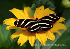 Black Butterfly (Mike Woodfin) Tags: park flowers flower color nature floral yellow contrast photoshop canon butterfly tampa insect photography photo nikon pretty fuji tampabay florida photos country picture photograph fl hillsborough eurekaspring hillsboroughcounty mikewoodfin mikewoodfinphotography