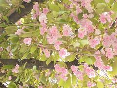 032 (en-ri) Tags: leaves three sony rosa albero fogli fiorellini sonysti