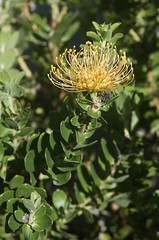 2016-05-18 at 16-11-48 (Mollivan Jon) Tags: newzealand places canterbury lincoln flowering southisland species reproduction cultivated leucospermumcordifolium lincolnuniversity flowercolour taxonomy:kingdom=plantae afzoomnikkor28105mmf3545dif taxonomy:family=proteaceae taxonomy:binomial=leucospermumcordifolium taxonomy:genus=leucospermum selwyndistrictcanterburyplains flowercolouryellow miscellaneouskeywords planttraits observationaddedtonaturewatchnz photowithassociateddata naturewatchnz