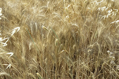 Wheat and oats (Micheo) Tags: yellow spain song sting amarillo granada verano fields cereals cereales cancion campos trigo fieldsofgold cosechas