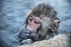 snow monkey in hot springs (xtremepeaks) Tags: winter wild portrait snow hot cute wet face animal japan closeup hair monkey eating alien springs icy jigokudani thechallengefactory