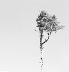 Solitr (Rosmarie Voegtli) Tags: bw tree jura highkey schwarzweiss arbre baum solitr