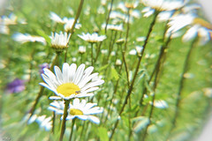 ... daisy ... (wolli s) Tags: flickr daisy margeriten blume flower blossom blte weis white makro lens