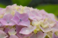 Hydrangea (Colorful-wind) Tags: light shadow plant flower color colors japan colorful soft purple may fujifilm hydrangea fukuoka lightandshadow ajisai 2016  xt1