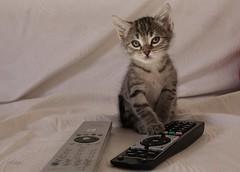 Ti e il telecomando (66Colpi) Tags: noia gattino televisione micetto telecomando tigrato tigrotto