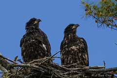 Pair of Eaglets (20160624-143718-PJG) (DrgnMastr) Tags: fb cropped eagles noahsark baldeagles eaglets coth littlestories specanimal brilliantnature avianexcellence ia22 naturesspirit picswithsoul damniwishidtakenthat dmslair sunshinegroup grouptags allrightsreserveddrgnmastrpjg pjgergelyallrightsreserved
