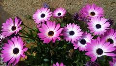 Adis a la primavera 2016 ;-)) (Montse;-)) ON-OFF) Tags: flowers flores marina casa spring flora cumple africandaisy asteraceae margaritas osteospermum africanas 19616 primavera2016