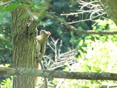 (amandamae24) Tags: trees tree nature leaves animal forest leaf moss woods chipmunk chipmunks