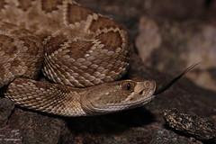 Mojave Rattlesnake (DevinBergquist) Tags: mojaverattlesnake mohaverattlesnake rattlesnake crotalus crotalusscutulatus cascabel herping fieldherping wildlife nature az arizona