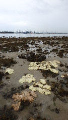 Mass coral bleaching at Beting Bemban Besar, 24 Jun 2016 (wildsingapore) Tags: nature island marine singapore underwater wildlife coastal threats intertidal seashore bleaching marinelife cnidaria wildsingapore scleractinia betingbembanbesar