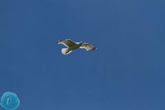 BirdID LT 2016 Vilnius (_alcedo_) Tags: nature birds gulls lithuania biodiversity migrant breeder caspiangull laruscachinnans wintering borisbelchev wwwalcedowildlifecom papiolake birdwatchinglithuania