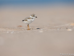 Piping Plover Chick (naturethroughmyeyes.com) Tags: summer ontario canada nature outdoors sweet wildlife northamerica pipingplover wildlifephotographer wasagabeach endangeredspecies shorebird charadriusmelodus bellyshot naturephotographer pipingploverchick naturethroughmyeyescom barbaralynne eos1dx canon1dx copyrightbarbdarpino barbaralynnedarpino barbdeardendarpino